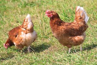 Hühner, Hennen Gentechnik
