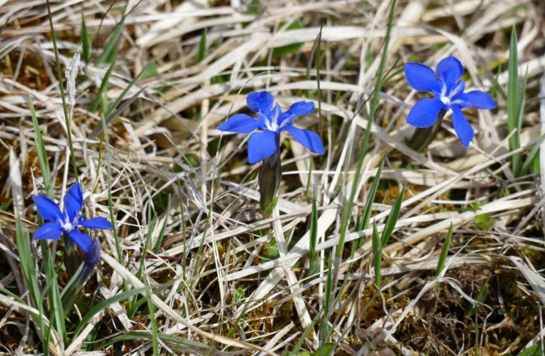Frühlingseziane