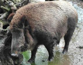 Wildschwein, verstrahlt