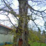 Foto: Schongauer Ulme Naturdenkmal