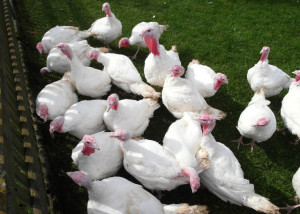 Foto: Turkeys