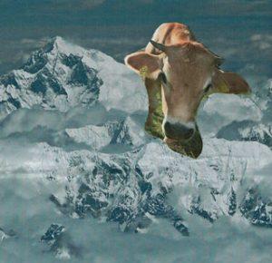 Kuh im Himalaya